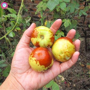 10pcs real winter jujube seeds organic sweet fruit seeds natural date palm tree bonsai planting for DIY home garden supplies pot