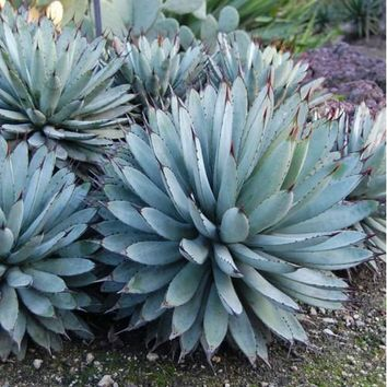 Black Spined Agave Succulent Seeds (Agave macroacantha) 20+Seeds