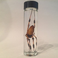Preserved Banana Spider