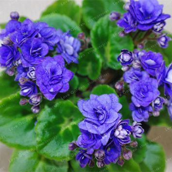 100 PCS Variety Of Colors Sky Blue Violet Seeds Garden Plants Violet Flowers Perennial Herb Matthiola Incana Seed