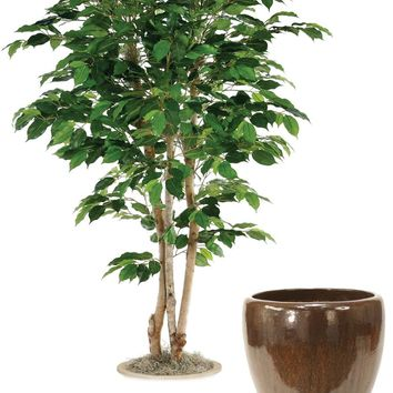 5' Green Ficus Tree In Glazed Mocha Stoneware Pot