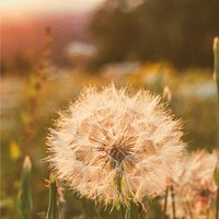 Wishes at Sunset, Dandelion