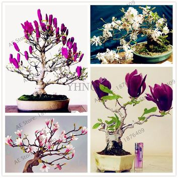 30pcs/bag - Rare Magnolia Variations - Bonsai Seeds