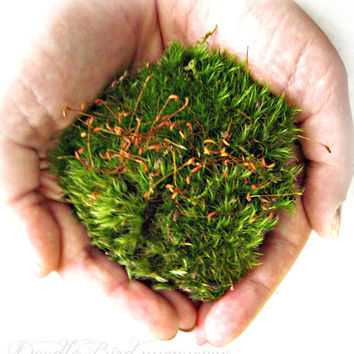 Live Moss / Terrarium Plants / Miniature Garden Plant / DIY Terrarium Kit Supplies