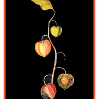 Winter Cherry Chinese Lantern Plant by Mary Delany Counted Cross Stitch or Counted Needlepoint Pattern