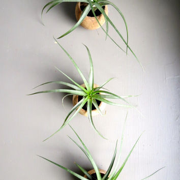 A set of three natural seed pod containers complete with Tillandsia Concolor Air Plants