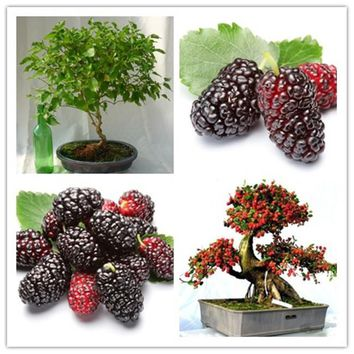 High quality blackberry seeds and blackberries fruit tree seeds mulberry fruit seeds healthy nutrition - 200 pcs