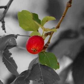 Ruby Red Apple On Black And White Art Print