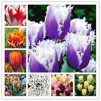 100 Pieces/Pack Tulip Seeds Multicolor Tulipa Gesneriana,Potted Plants, Planting Seasons,Flowering Plant Beauty Your Home Garden