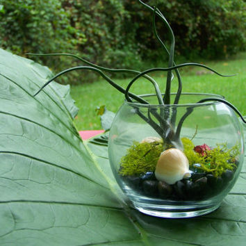 Bulbosa Air Plant Terrarium Handmade Design