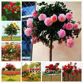 Lowest Price!100 SEEDS - Genuine Fresh Rare Rosa Chinensis Dendroidal ROSE Flower Tree Seeds,#4N4O7F