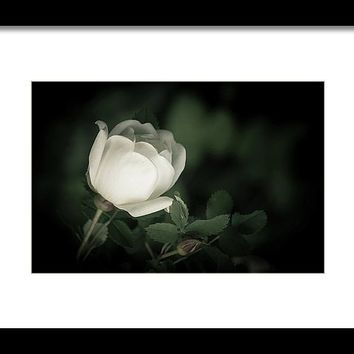 White Flower Of A Dogrose Framed Print