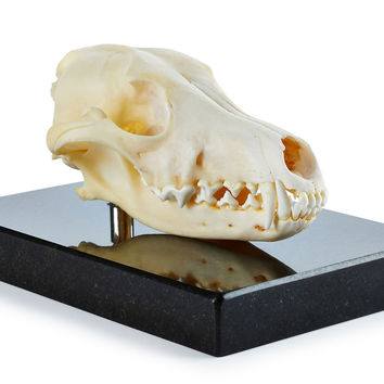 Coyote Skull on Marble Base, Animal Specimens