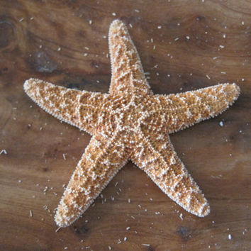 "Small Sugar Starfish 2 - 3"" (6 PC)  - Starfish - Seashells - Seashell Supply - Craft Seashells - Coastal Home Decor - Beach Decor"