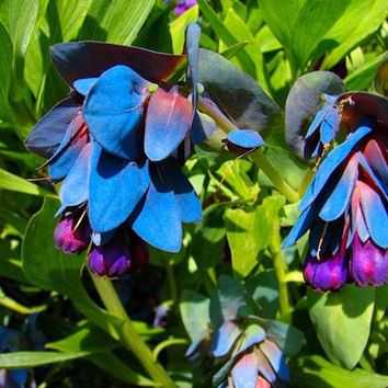 20 Blue Purple Shrimp Flower Seeds Heirloom Bonsai  - Rare and Exotic Cerinthe Major Purpurascens Pride Gibraltar Honeywort