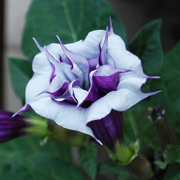 Purple Triple Datura metel, 15 seeds, fancy ruffled blooms, grow in any zone, drought tolerant, deer proof, easy annual, moon gardens