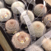 Succulent plant Snowball Cactus also known as Mammillaria Candida