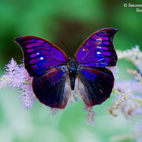 Real Fire Opal Butterfly Photo Print