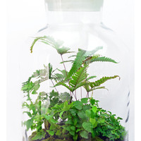 Extra Large Apothecary Vessel - Fern Terrarium -Live Moss - Indoor Garden - Living Home Decor - DIY Terrarium Kit