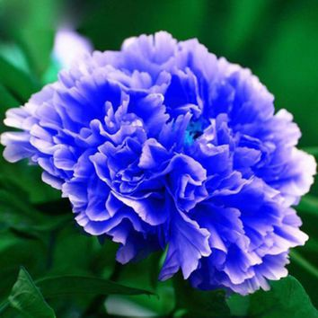 Unique Chinese Blue Peony Seeds Balcony Potted Flowers Potted Plants Seed Paeonia suffruticosa Flower High germination 12 PCS