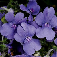 Nemesia Blue Gem Flower Seeds (Nemesia Strumosa) 200+Seeds