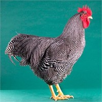 Barred Plymouth Rock from My Pet Chicken