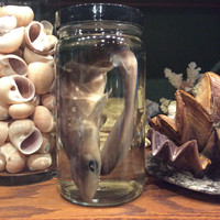 Preserved Shark pup