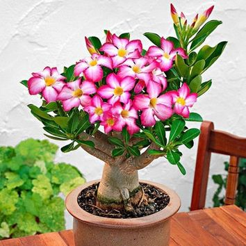 Adenium Obesum Seeds Desert Rose Seeds Bonsai Perennial Flower Seeds Home