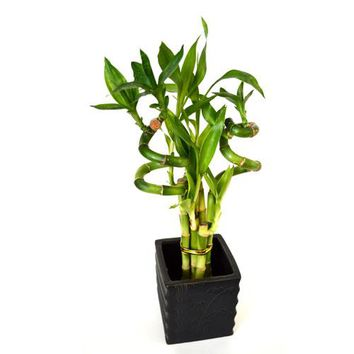 9GreenBox - Lucky Bamboo Spiral Style with Diamond Ceramic Vase