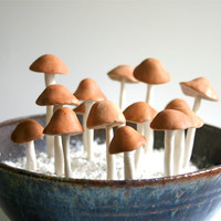 Edible Wild Sugar Mushrooms of the genus Psilocybe Cubensis 50 assorted -As Seen In Urban Outfitters
