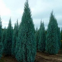 Arizona Cypress Tree Seeds (Cupressus arizonica) 25+Seeds