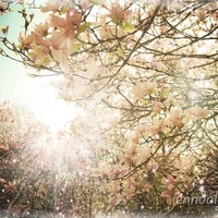 In Bloom - 8 x 10 fine art photograph, spring landscape photography, magnolia tree, magnolias, pastels, romantic, for her