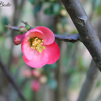 Flowering Quince Red & Pink Flower Art Print Cottage Chic Country Decor Outdoors Photograph Spring Nature Photography Decor
