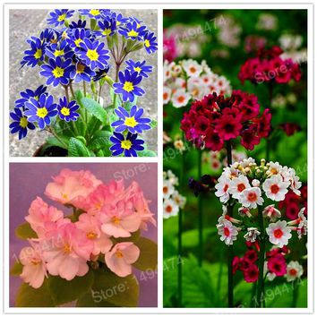 100pcs mixed color mini primrose seeds Rare Primula Malacoides Seeds Mini Bonsai Flower mini bonsai plant for home garden