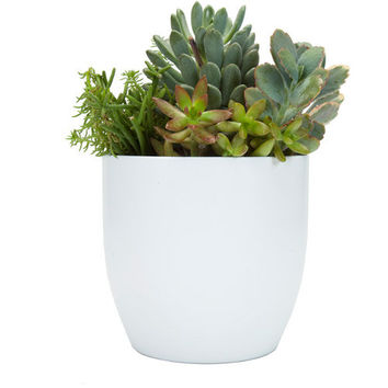 "Walmart: Exotic Angel Plants 6"" Succulent Garden in 16 cm Basel White Pot"