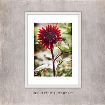 "Sunflower Photograph, Kitchen Decor, Cottage Decor, Shabby Chic, Nature Fine Art, Rust Orange, Red, Honey Bees, Sunflower ""All A-Buzz"""