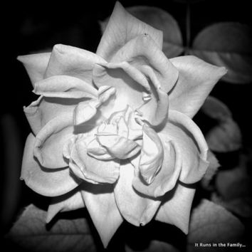 Pure Elegance Black & White 5x7 Photo Print by ItRunsInTheFamily