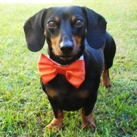 Wedding Dog Bow Tie: Cat Or Dog on Luulla