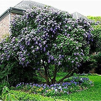 The Dirty Gardener Sophora Secundiflora Texas Mountain Laurel Trees, 50 Seeds