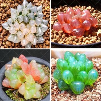100pcs Rare Crystal Clear Beauty Succulents Seeds Easy To Grow Potted Ornamental