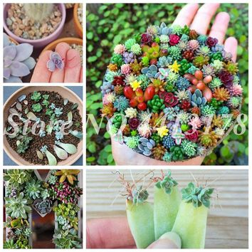 200 pcs/ bag Mix Succulent Indoor Bonsai Potted Lithops Pseudotruncatella Mini Garden Plant for Flower Pots Planters Sementes