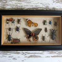 Vintage Framed Beatle Bugs. Specimens box with insects. Wall hanging picture AS IS