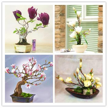 10 Pcs/Bag Magnolia Seeds Mini Magnolia Bonsai Beautiful Flower Seeds Indoor Or Ourdoor Potted Plants DIY For Home Garden