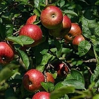 Paradise Apple Tree Seeds (Malus pumila) 10+Seeds