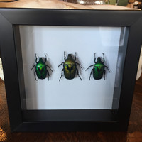 Jewel Beetle Framed Mount