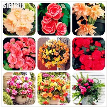 100% True Begonia Flower Seeds Multicolor Malus Spectabilis Potted Balcony Patio Hanging Bonsai For Garden Decor Planting 60 Pcs