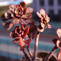 40pcs Echeveria Mahogny Rose Seeds Succulent Plants Potting