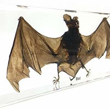 X-Large Taxidermy Real Bat Specimens Science Classroom Specimen for Science Education(7.9x3.6x1.6 inch)