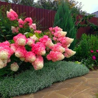 20 pcs/bag Vanilla Strawberry hydrangea Flower Seeds for home planting perennial outdoor indoor bonsai etc easy to grow