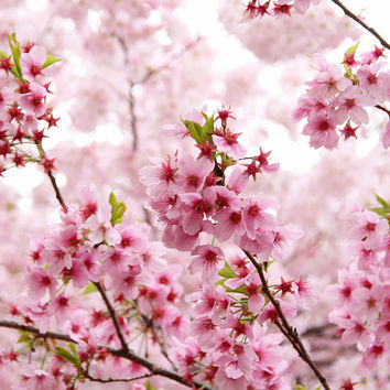 10 Pink Cherry Blossom Tree Seeds | Wonderful Tree Flower | Garden Decor DIY Heirloom Organic